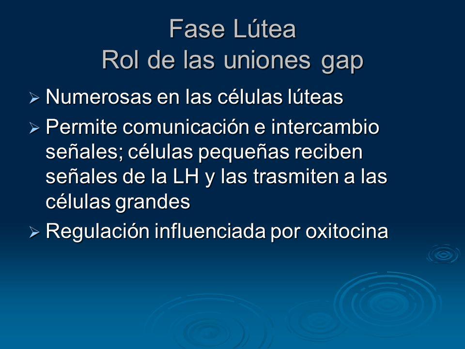 Fase Lútea Rol de las uniones gap Numerosas en las células lúteas Numerosas en las células lúteas Permite comunicación e intercambio señales; células