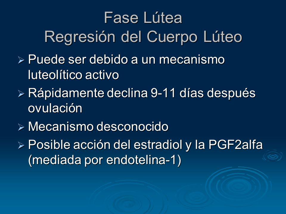 Fase Lútea Regresión del Cuerpo Lúteo Puede ser debido a un mecanismo luteolítico activo Puede ser debido a un mecanismo luteolítico activo Rápidament