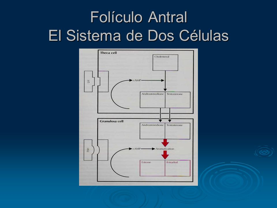 Folículo Antral El Sistema de Dos Células