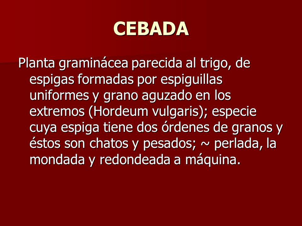 CEBADA Planta graminácea parecida al trigo, de espigas formadas por espiguillas uniformes y grano aguzado en los extremos (Hordeum vulgaris); especie