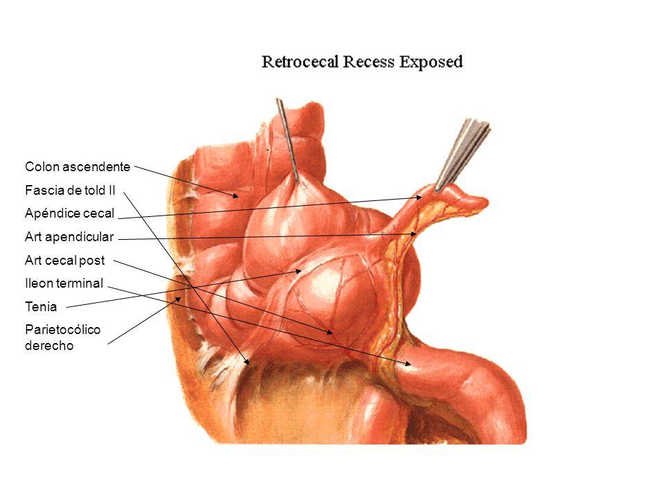 Colon ascendente Fascia de told II Apéndice cecal Art apendicular Art cecal post Ileon terminal Tenia Parietocólico derecho