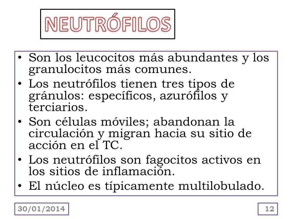 Son los leucocitos más abundantes y los granulocitos más comunes. Los neutrófilos tienen tres tipos de gránulos: específicos, azurófilos y terciarios.