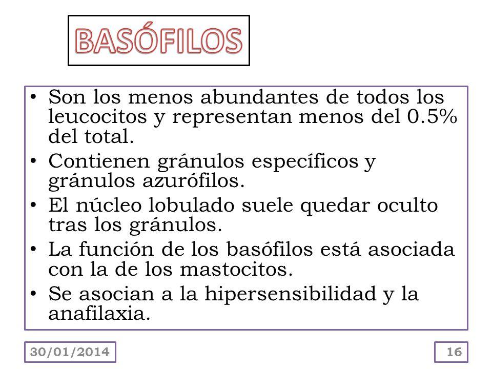 Son los menos abundantes de todos los leucocitos y representan menos del 0.5% del total. Contienen gránulos específicos y gránulos azurófilos. El núcl