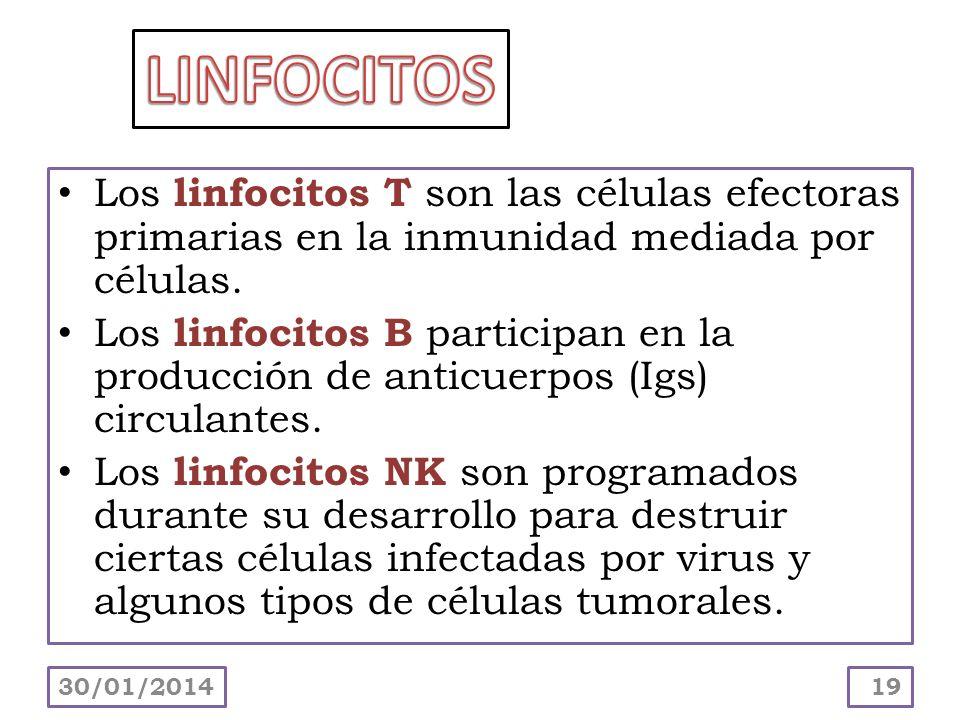 Los linfocitos T son las células efectoras primarias en la inmunidad mediada por células. Los linfocitos B participan en la producción de anticuerpos