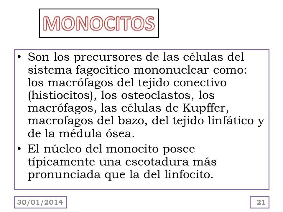 Son los precursores de las células del sistema fagocítico mononuclear como: los macrófagos del tejido conectivo (histiocitos), los osteoclastos, los m