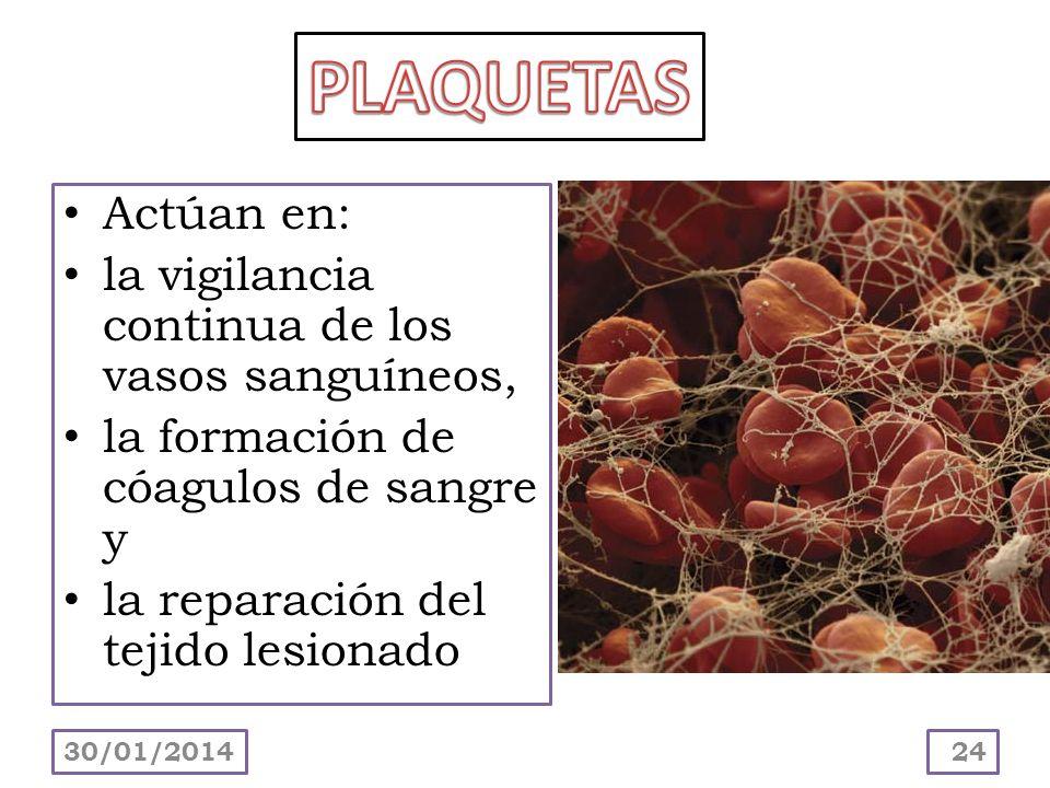 Actúan en: la vigilancia continua de los vasos sanguíneos, la formación de cóagulos de sangre y la reparación del tejido lesionado 30/01/201424