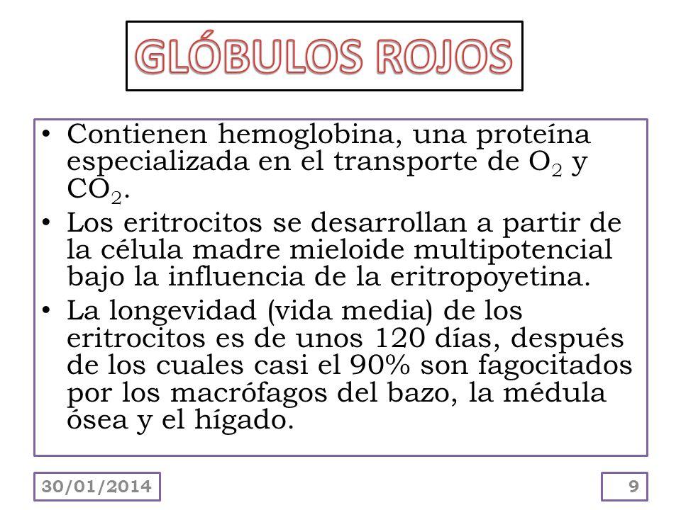 Contienen hemoglobina, una proteína especializada en el transporte de O 2 y CO 2. Los eritrocitos se desarrollan a partir de la célula madre mieloide
