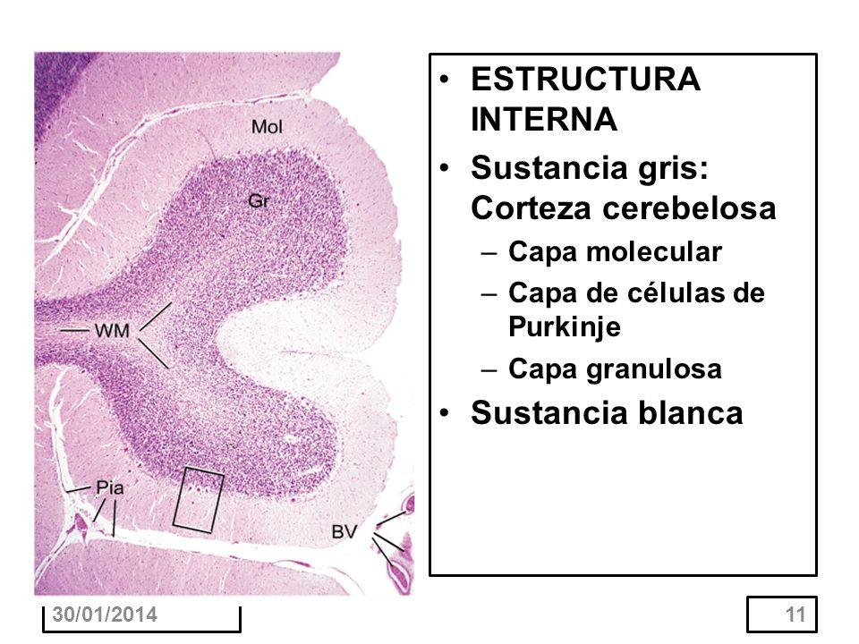 30/01/201411 ESTRUCTURA INTERNA Sustancia gris: Corteza cerebelosa –Capa molecular –Capa de células de Purkinje –Capa granulosa Sustancia blanca