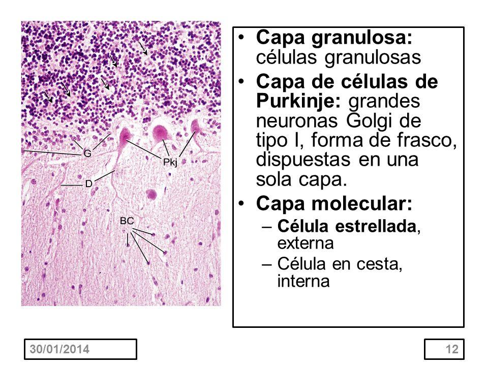 30/01/201412 Capa granulosa: células granulosas Capa de células de Purkinje: grandes neuronas Golgi de tipo I, forma de frasco, dispuestas en una sola