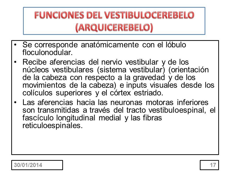 Se corresponde anatómicamente con el lóbulo floculonodular. Recibe aferencias del nervio vestibular y de los núcleos vestibulares (sistema vestibular)
