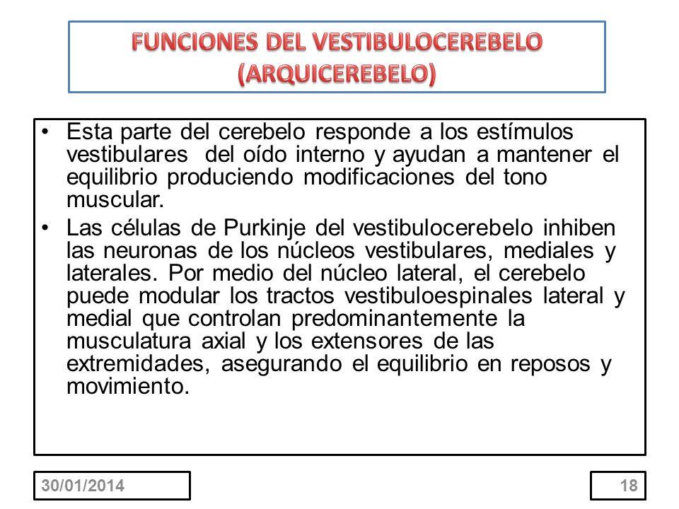 30/01/201418 Esta parte del cerebelo responde a los estímulos vestibulares del oído interno y ayudan a mantener el equilibrio produciendo modificacion