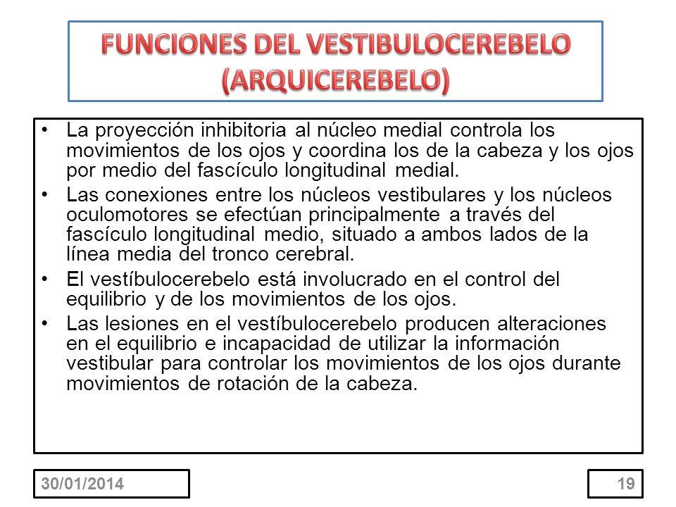 30/01/201419 La proyección inhibitoria al núcleo medial controla los movimientos de los ojos y coordina los de la cabeza y los ojos por medio del fasc