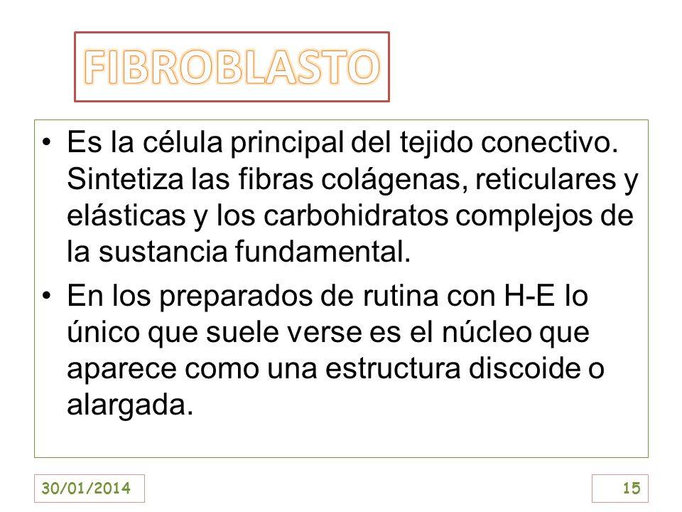 Es la célula principal del tejido conectivo. Sintetiza las fibras colágenas, reticulares y elásticas y los carbohidratos complejos de la sustancia fun