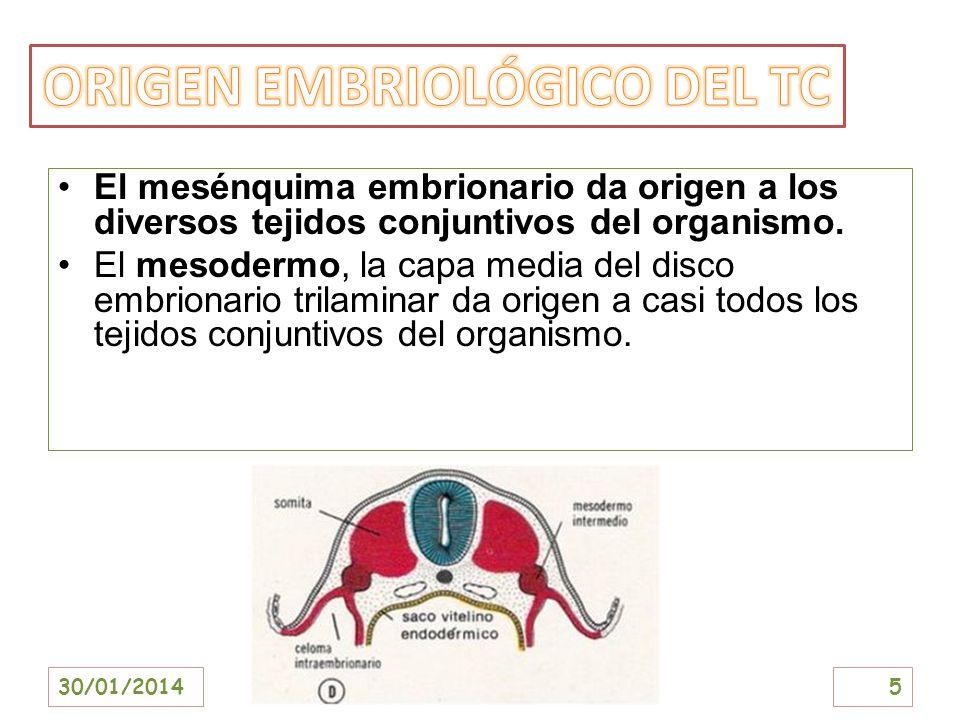 El mesénquima embrionario da origen a los diversos tejidos conjuntivos del organismo. El mesodermo, la capa media del disco embrionario trilaminar da