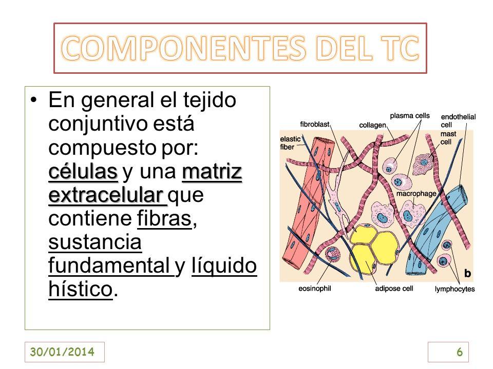 célulasmatriz extracelularEn general el tejido conjuntivo está compuesto por: células y una matriz extracelular que contiene fibras, sustancia fundame