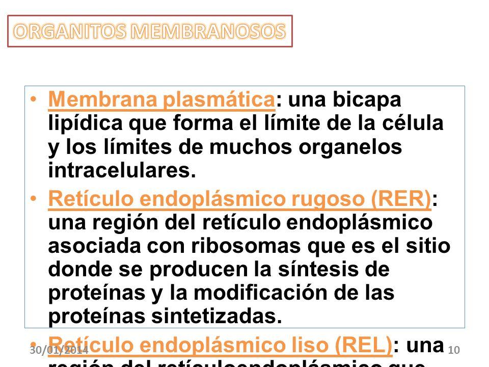 Membrana plasmática: una bicapa lipídica que forma el límite de la célula y los límites de muchos organelos intracelulares. Retículo endoplásmico rugo
