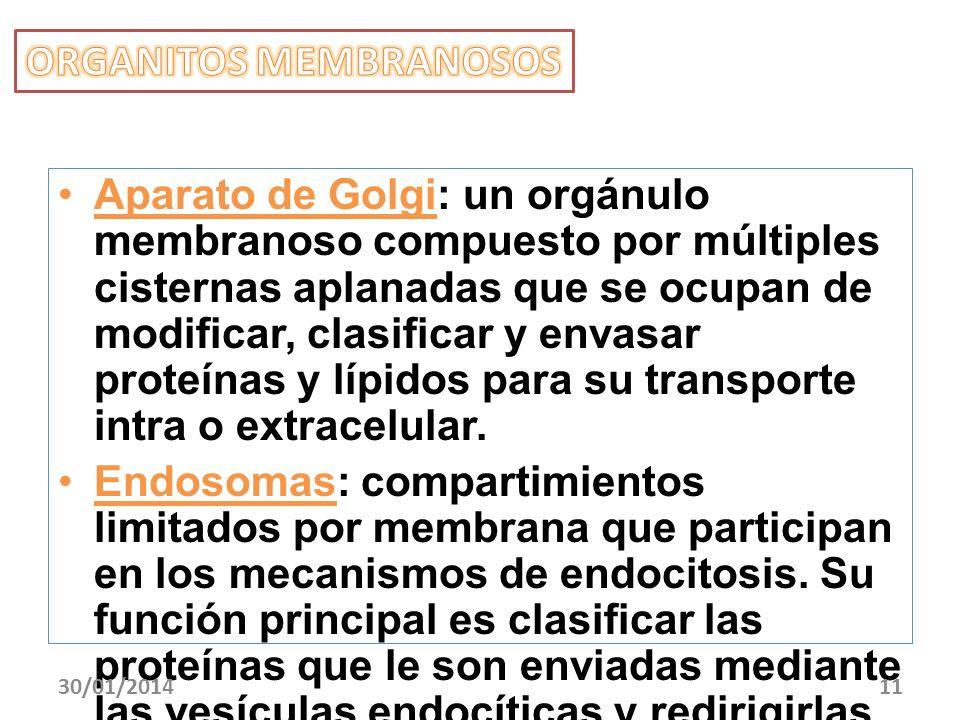 Aparato de Golgi: un orgánulo membranoso compuesto por múltiples cisternas aplanadas que se ocupan de modificar, clasificar y envasar proteínas y lípi