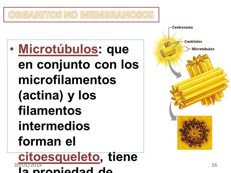 Microtúbulos: que en conjunto con los microfilamentos (actina) y los filamentos intermedios forman el citoesqueleto, tiene la propiedad de alargarse y