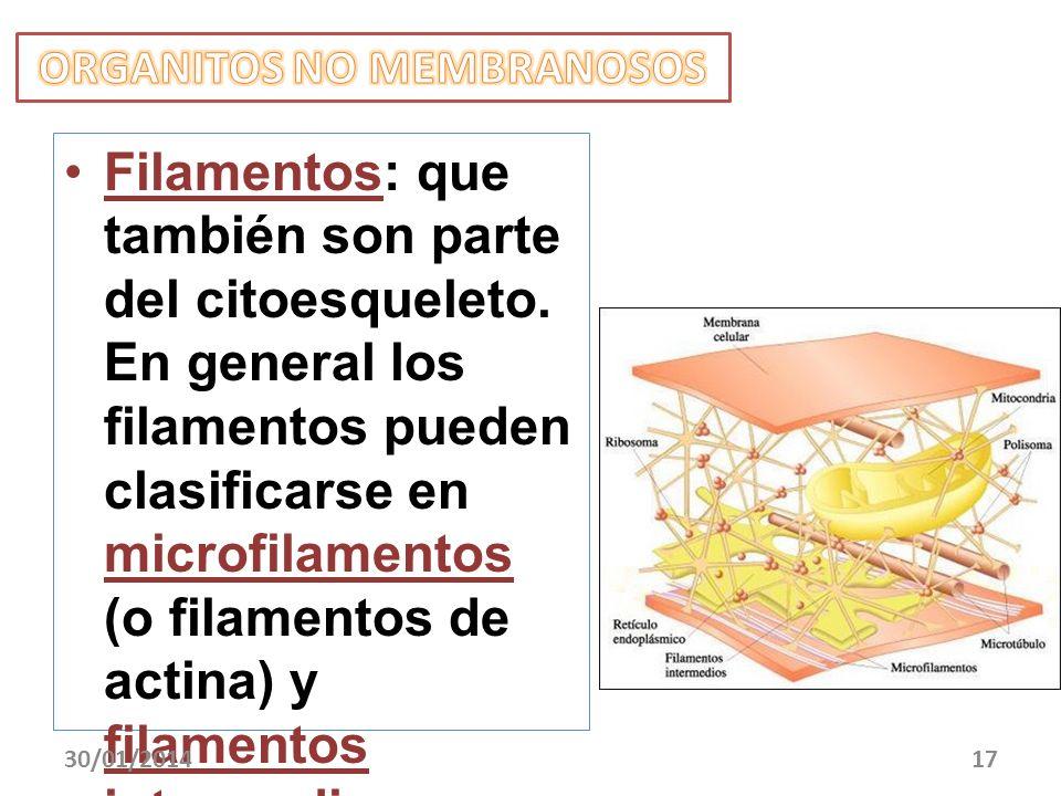 Filamentos: que también son parte del citoesqueleto. En general los filamentos pueden clasificarse en microfilamentos (o filamentos de actina) y filam