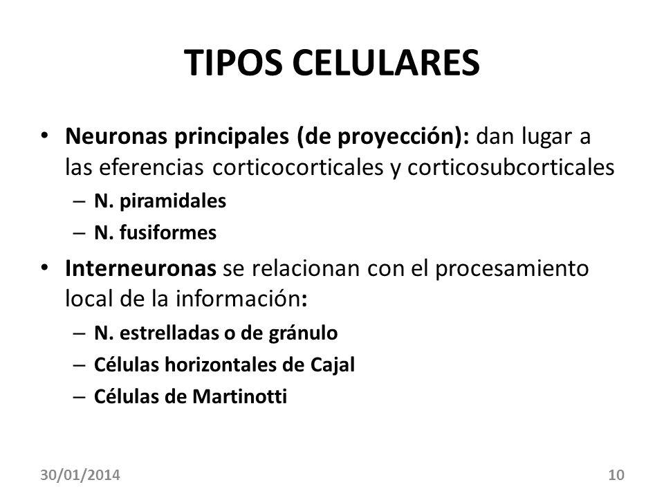 10 TIPOS CELULARES Neuronas principales (de proyección): dan lugar a las eferencias corticocorticales y corticosubcorticales – N. piramidales – N. fus
