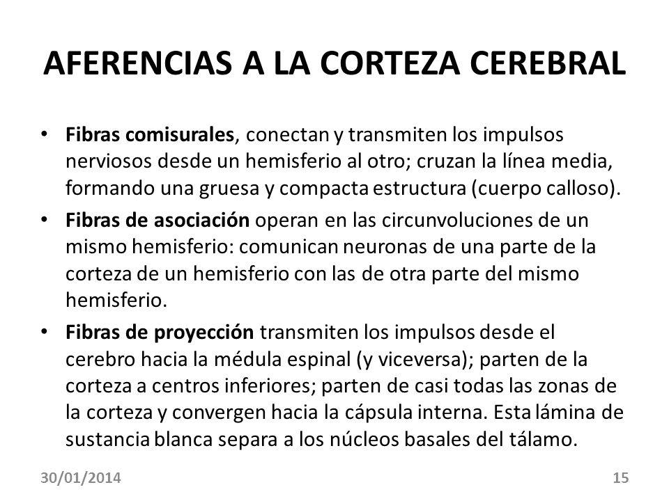 30/01/201415 AFERENCIAS A LA CORTEZA CEREBRAL Fibras comisurales, conectan y transmiten los impulsos nerviosos desde un hemisferio al otro; cruzan la