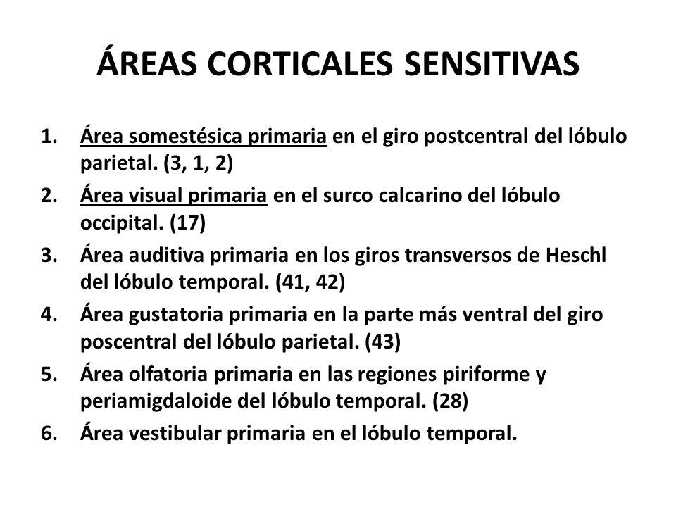 ÁREAS CORTICALES SENSITIVAS 1.Área somestésica primaria en el giro postcentral del lóbulo parietal. (3, 1, 2) 2.Área visual primaria en el surco calca