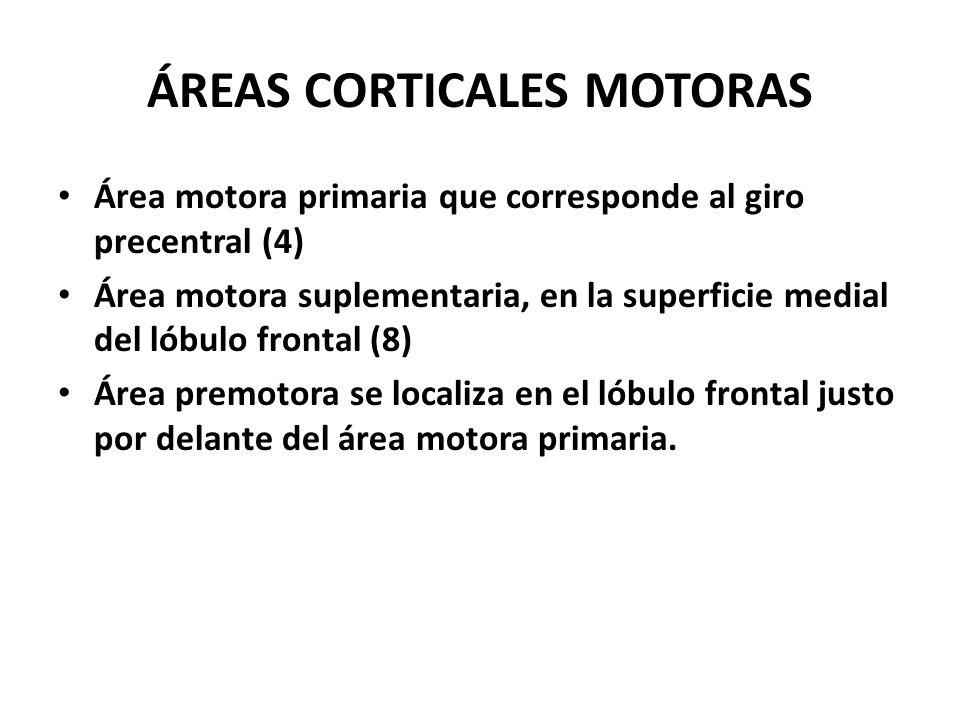 ÁREAS CORTICALES MOTORAS Área motora primaria que corresponde al giro precentral (4) Área motora suplementaria, en la superficie medial del lóbulo fro