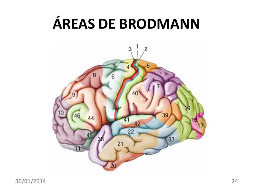 30/01/201424 ÁREAS DE BRODMANN