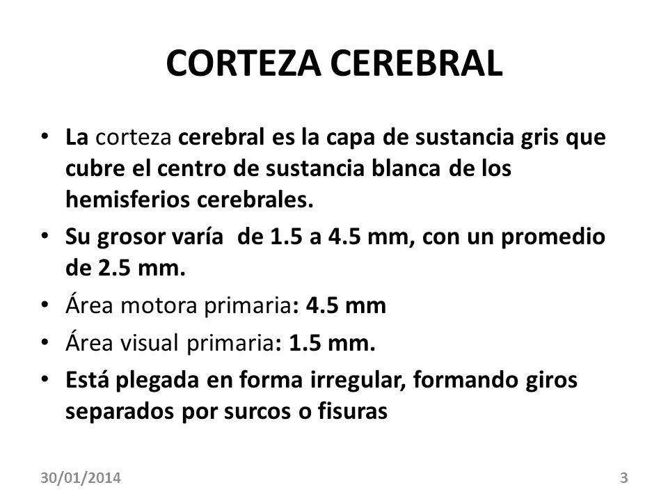 30/01/20143 CORTEZA CEREBRAL La corteza cerebral es la capa de sustancia gris que cubre el centro de sustancia blanca de los hemisferios cerebrales. S