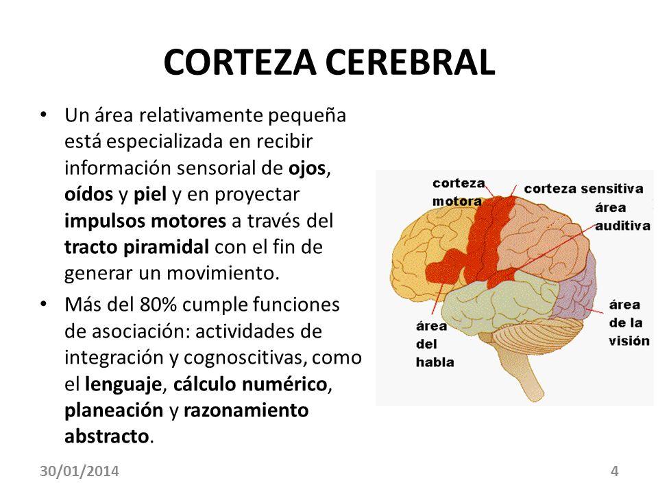 30/01/20144 CORTEZA CEREBRAL Un área relativamente pequeña está especializada en recibir información sensorial de ojos, oídos y piel y en proyectar im