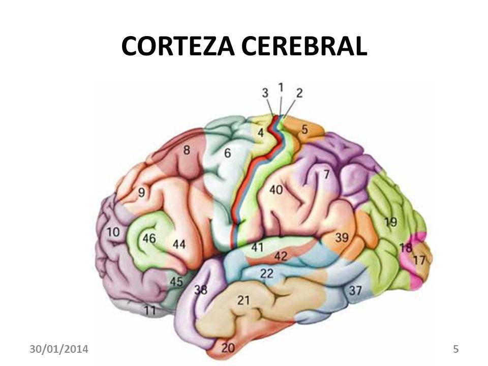 CORTEZA CEREBRAL 30/01/20145
