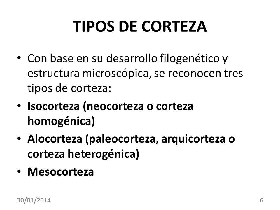6 TIPOS DE CORTEZA Con base en su desarrollo filogenético y estructura microscópica, se reconocen tres tipos de corteza: Isocorteza (neocorteza o cort
