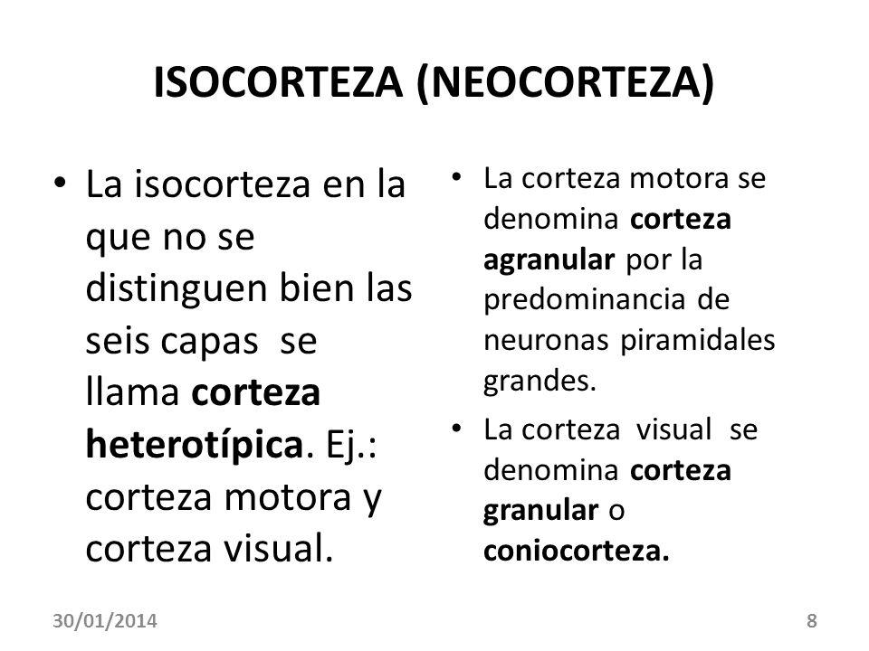 ISOCORTEZA (NEOCORTEZA) La isocorteza en la que no se distinguen bien las seis capas se llama corteza heterotípica. Ej.: corteza motora y corteza visu