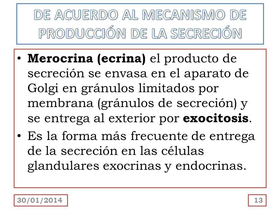Merocrina (ecrina) el producto de secreción se envasa en el aparato de Golgi en gránulos limitados por membrana (gránulos de secreción) y se entrega a