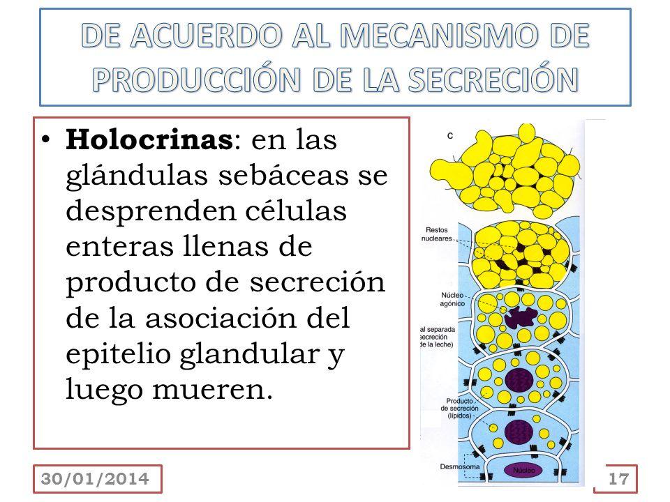 Holocrinas : en las glándulas sebáceas se desprenden células enteras llenas de producto de secreción de la asociación del epitelio glandular y luego m