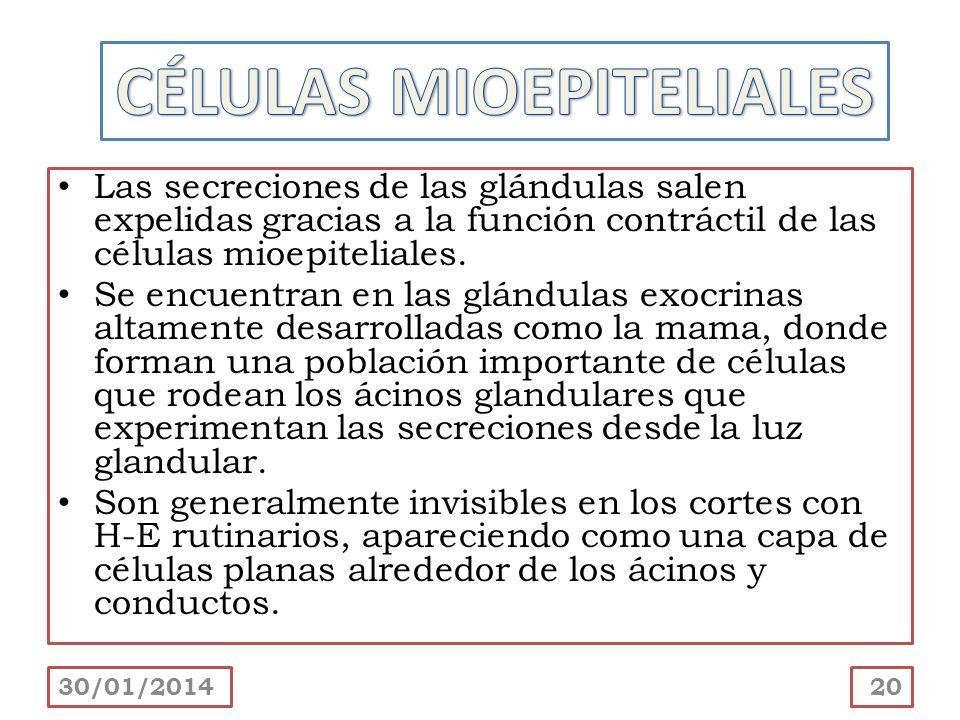 Las secreciones de las glándulas salen expelidas gracias a la función contráctil de las células mioepiteliales. Se encuentran en las glándulas exocrin