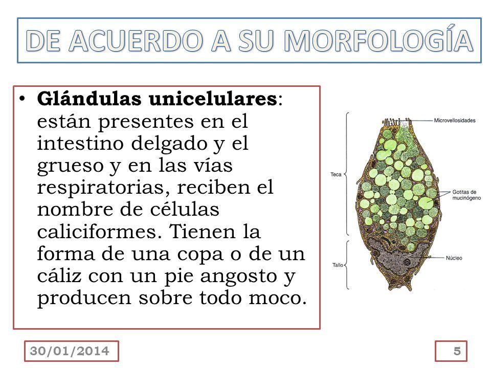 Glándulas multicelulares : están compuestas por más de una célula y exhiben grados de complejidad variable.
