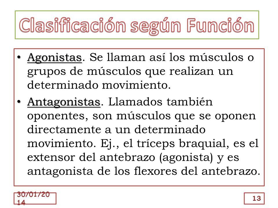 Agonistas Agonistas. Se llaman así los músculos o grupos de músculos que realizan un determinado movimiento. Antagonistas Antagonistas. Llamados tambi