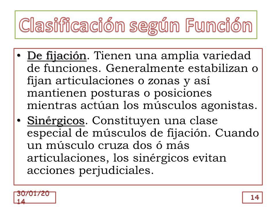 De fijación De fijación. Tienen una amplia variedad de funciones. Generalmente estabilizan o fijan articulaciones o zonas y así mantienen posturas o p