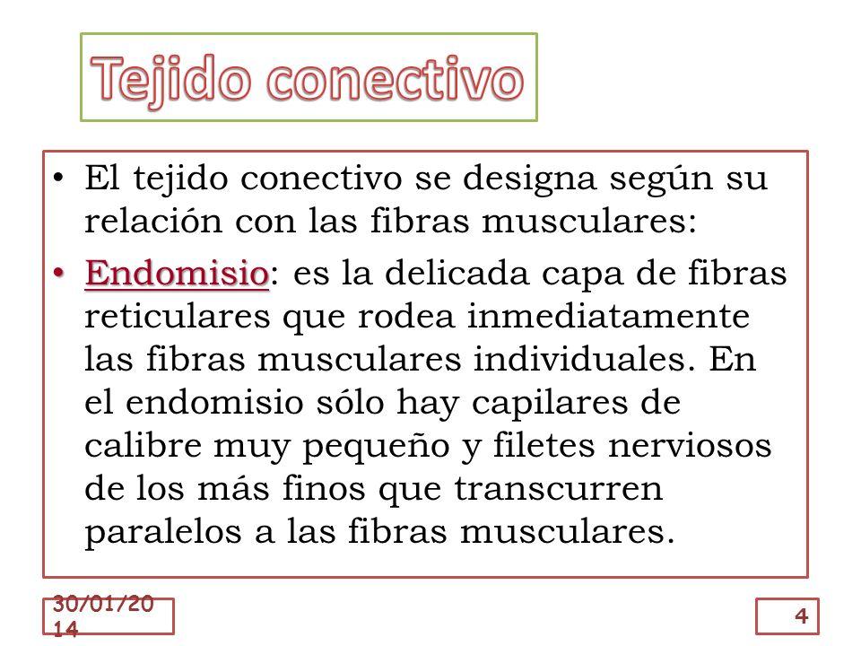 El tejido conectivo se designa según su relación con las fibras musculares: Endomisio Endomisio: es la delicada capa de fibras reticulares que rodea i