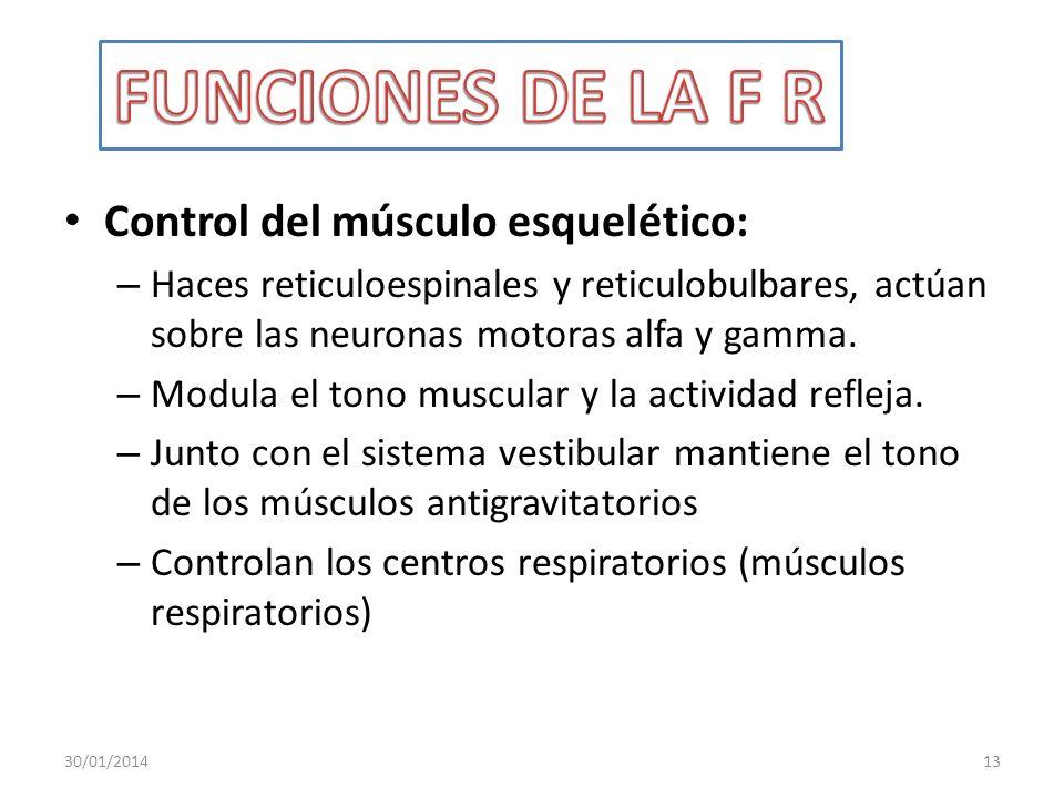 Control del músculo esquelético: – Haces reticuloespinales y reticulobulbares, actúan sobre las neuronas motoras alfa y gamma. – Modula el tono muscul