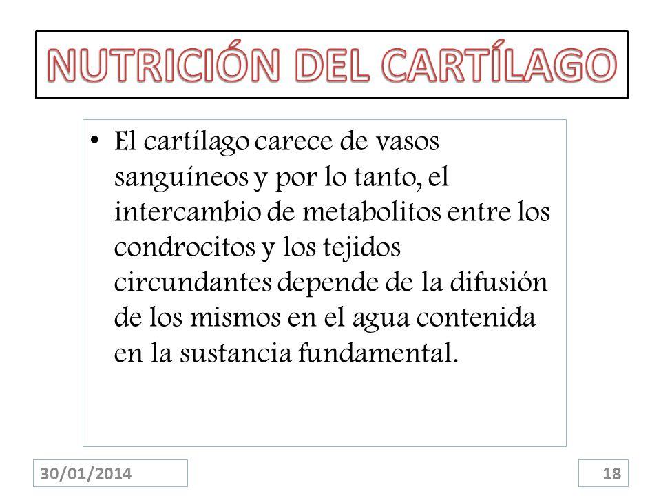 30/01/201418 El cartílago carece de vasos sanguíneos y por lo tanto, el intercambio de metabolitos entre los condrocitos y los tejidos circundantes de
