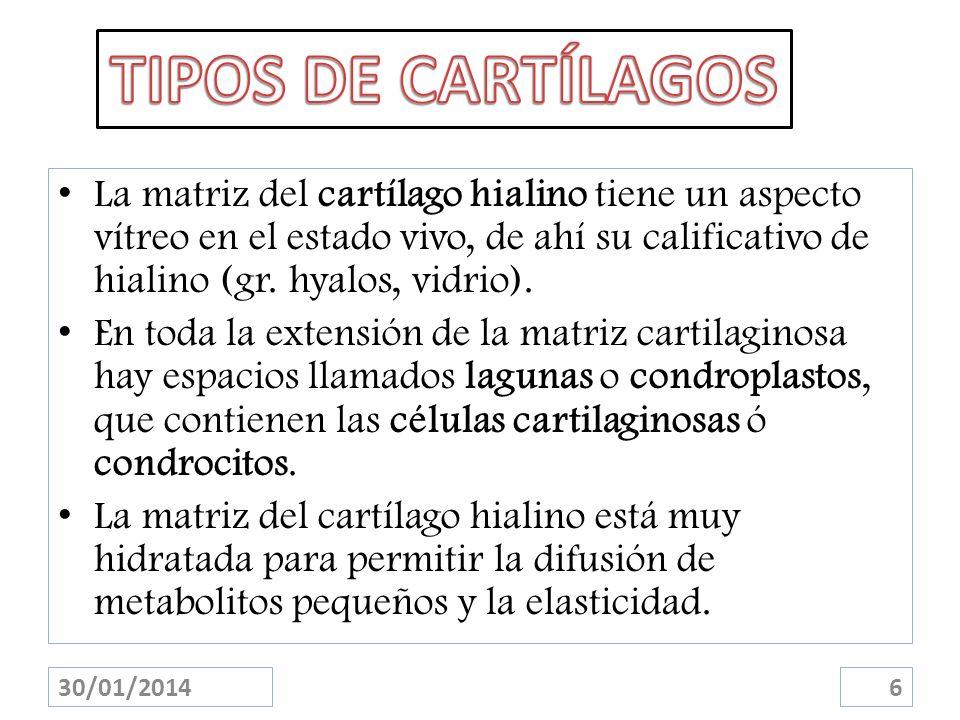 La matriz del cartílago hialino tiene un aspecto vítreo en el estado vivo, de ahí su calificativo de hialino (gr. hyalos, vidrio). En toda la extensió