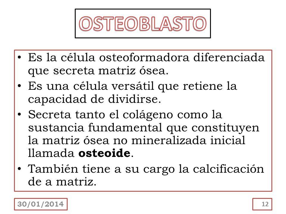 Es la célula osteoformadora diferenciada que secreta matriz ósea. Es una célula versátil que retiene la capacidad de dividirse. Secreta tanto el colág