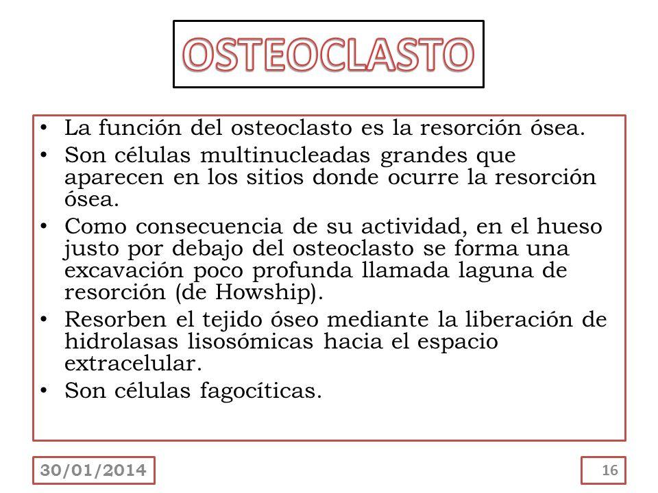 La función del osteoclasto es la resorción ósea. Son células multinucleadas grandes que aparecen en los sitios donde ocurre la resorción ósea. Como co