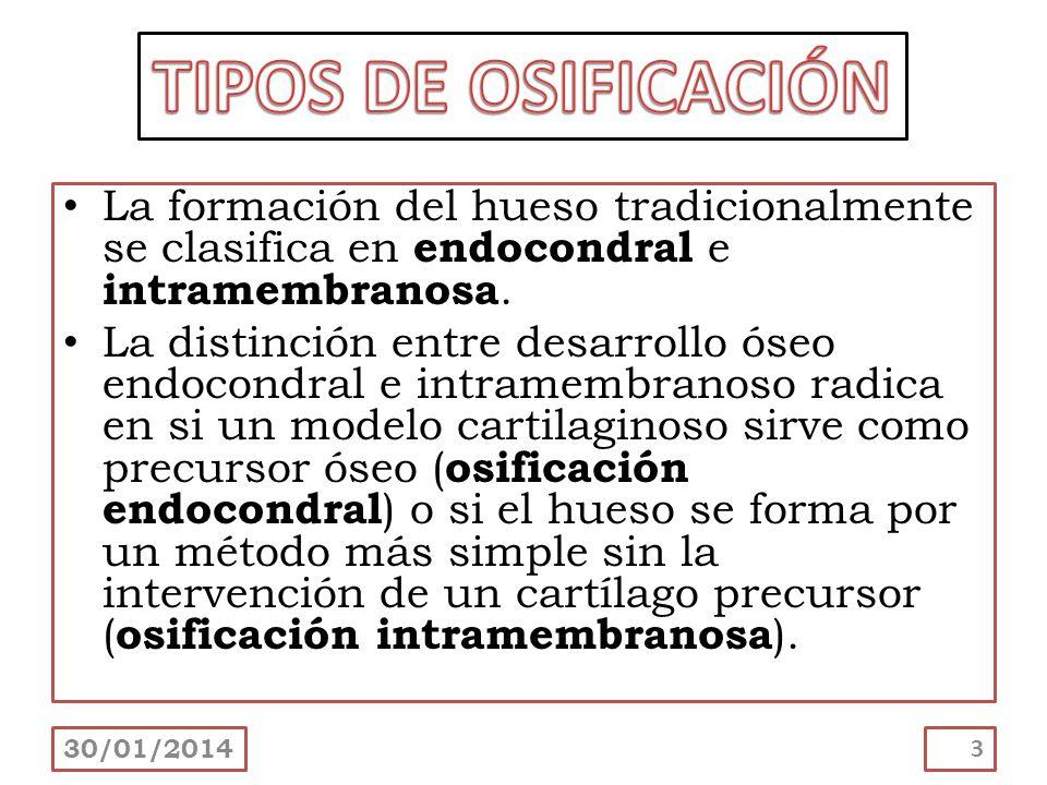 La formación del hueso tradicionalmente se clasifica en endocondral e intramembranosa. La distinción entre desarrollo óseo endocondral e intramembrano