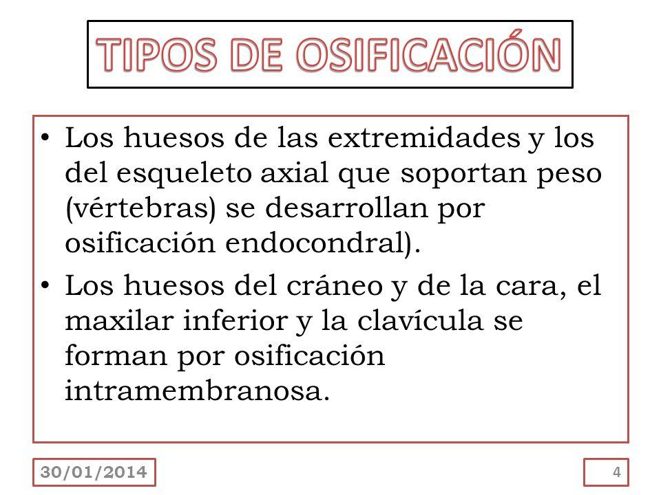 Los huesos de las extremidades y los del esqueleto axial que soportan peso (vértebras) se desarrollan por osificación endocondral). Los huesos del crá