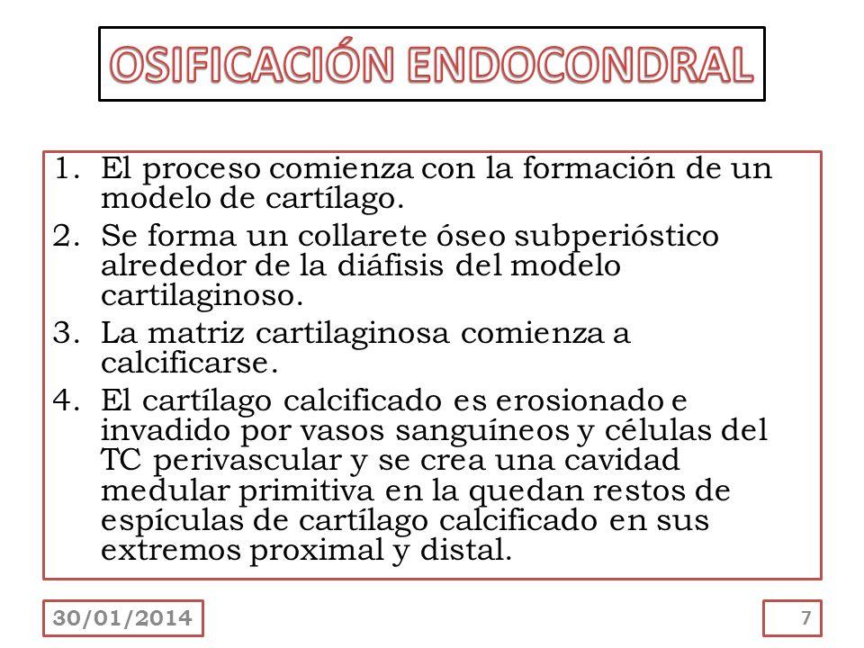 1.El proceso comienza con la formación de un modelo de cartílago. 2.Se forma un collarete óseo subperióstico alrededor de la diáfisis del modelo carti