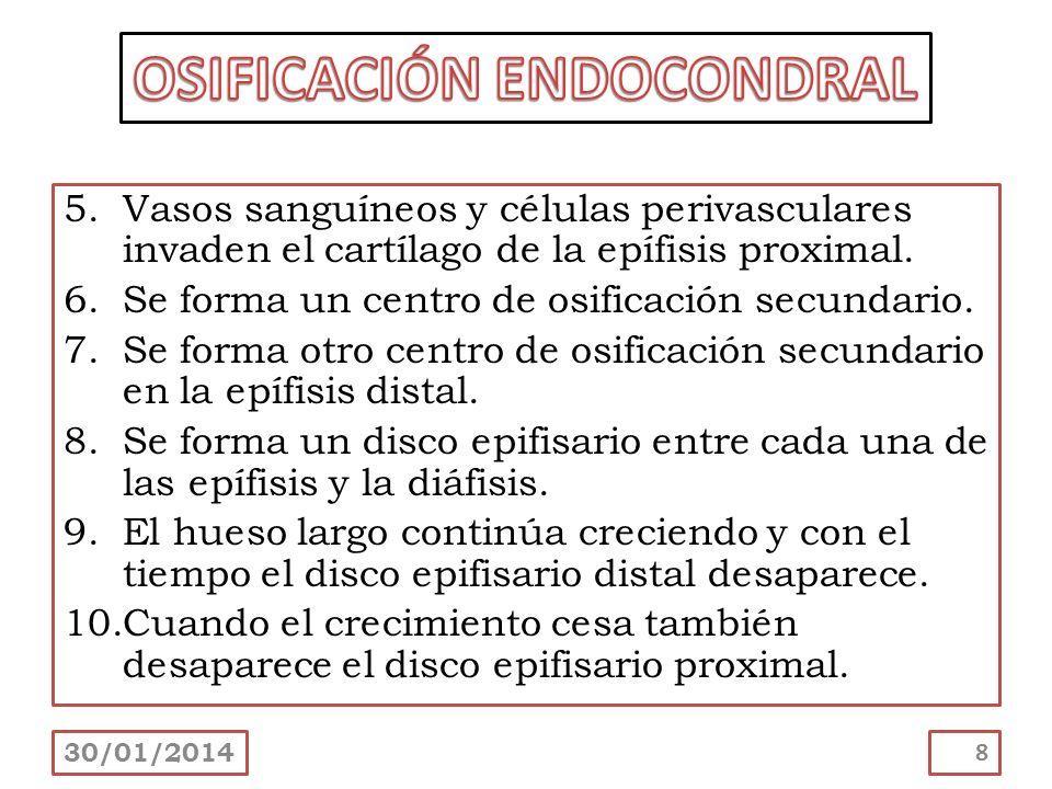5.Vasos sanguíneos y células perivasculares invaden el cartílago de la epífisis proximal. 6.Se forma un centro de osificación secundario. 7.Se forma o
