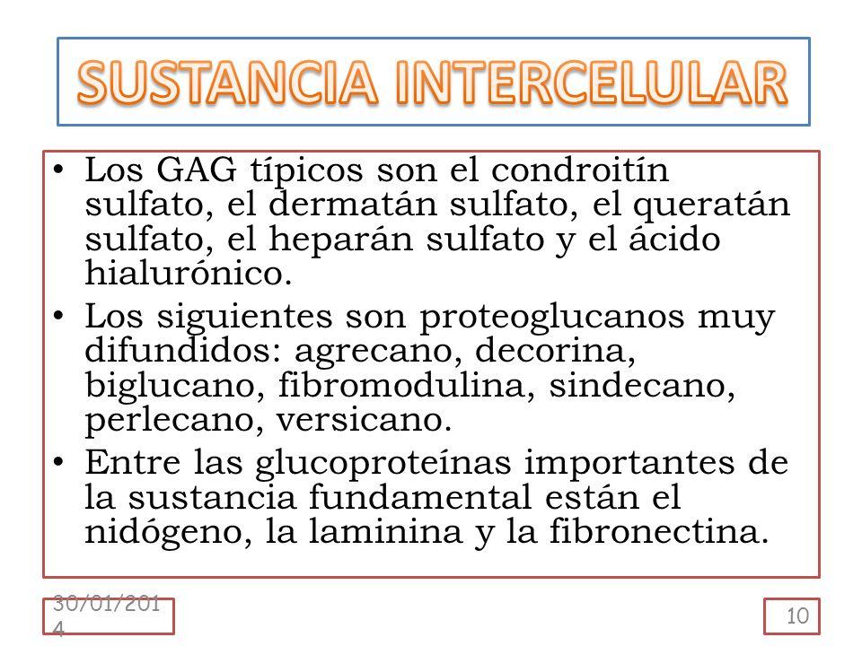 Los GAG típicos son el condroitín sulfato, el dermatán sulfato, el queratán sulfato, el heparán sulfato y el ácido hialurónico. Los siguientes son pro